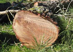 Introduction tree rings indicate the age of a tree and
