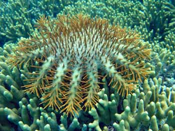 Crown of Thorns starfish, NOAA