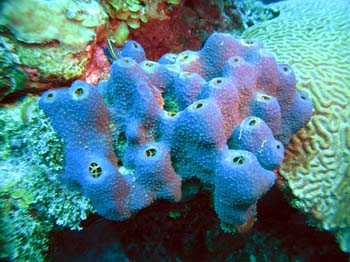 Branching tube sponge, NOAA