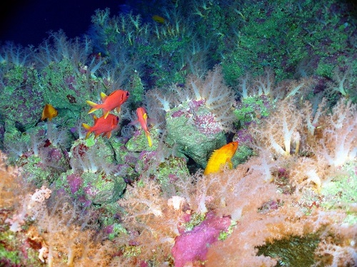 Deep-sea corals and other animals living on a seamount.