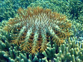 Crown of Thorns starfish, NOAA